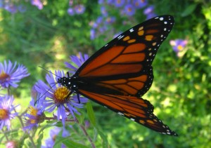 monarch_butterfly_blueflower