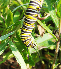 Monarch butterfly caterpillar on butterflyweed