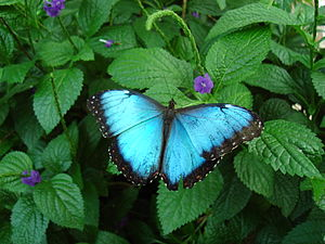 Blue morpho (Morpho peleides) butterfly at the...