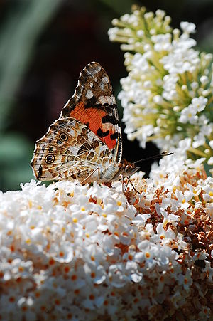 A Painted Lady (Vanessa cardui) on Buddleja.