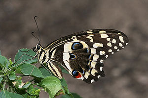 A citrus swallowtail, Papilio demodocus on Eup...