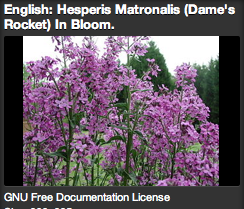 Dames Rocket, beautiful sprays of pinkish purple flowers, fragrant at night, attract butterflies by day.