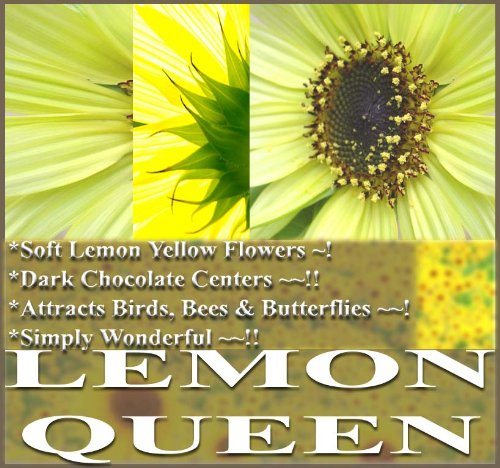 Lemon Queen seeds for soft yellow flowers that attract butterflies