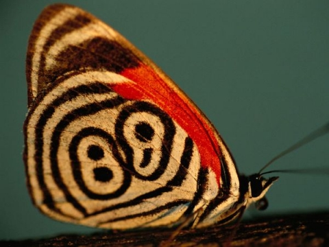 Neglected Eighty-Eight Butterfly photographed by Joel Sartore