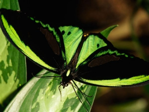 Birdwing Butterfly photographed by Nicole Duplaix