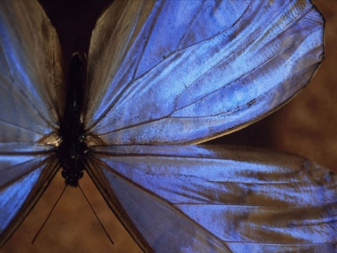 Male Blue Morpho Butterfly photographed by Cary Wolinsky