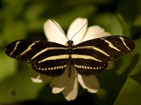 Zebra-Winged Butterfly photographed by Joel Sartore