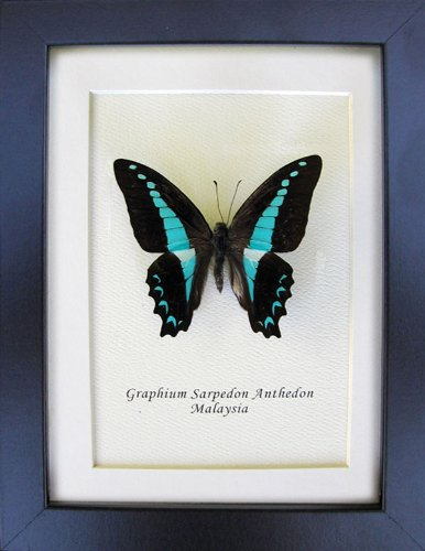 Graphium sarpedon antheon butterfly in shadow box